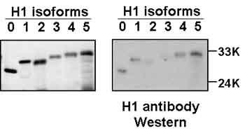 Western blot - Histone H1 antibody [0.T.60] (ab4269)