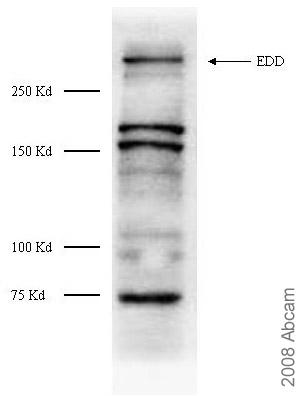 Western blot - EDD antibody (ab4376)
