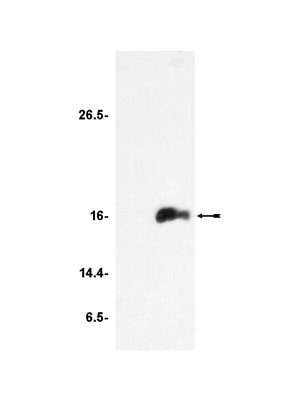 Western blot - Anti-Histone H3 (acetyl K9) antibody - ChIP Grade (ab4441)