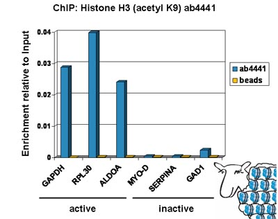 ChIP - Histone H3 (acetyl K9) antibody - ChIP Grade (ab4441)