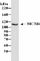 Western blot - MCM6 antibody (ab4458)