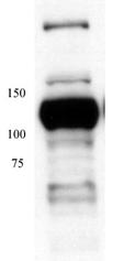 Western blot - MCM4 antibody (ab4459)