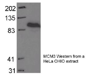 Western blot - MCM3 antibody (ab4460)