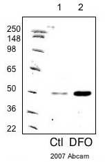 Western blot - PHD2 / prolyl hydroxylase antibody (ab4561)
