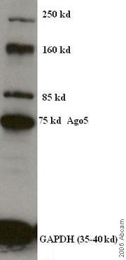 Western blot - Anti-Argonaute 5 antibody (ab4723)