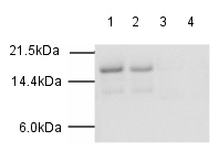 Western blot - Histone H3 (acetyl K27) antibody (ab4729)