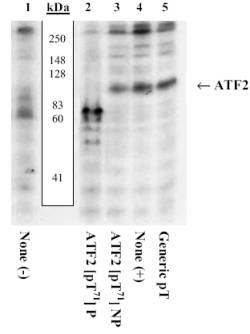 Western blot - ATF2 (phospho T71) antibody (ab4736)