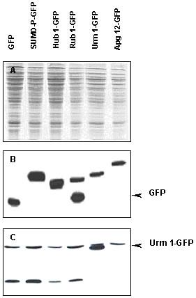 Western blot - Urm1 antibody (ab4755)