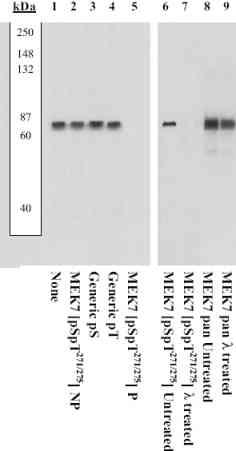 Western blot - MEK7 (phospho S271 + T275) antibody (ab4762)