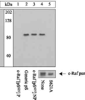 Western blot - Raf1 (phospho S621) antibody (ab4767)