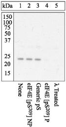 Western blot - eIF4E (phospho S209) antibody (ab4774)