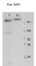 Western blot - RanGAP1 antibody (ab4784)