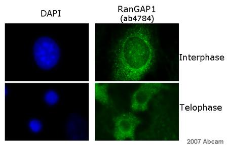 Immunocytochemistry/ Immunofluorescence - RanGAP1 antibody (ab4784)