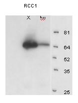Western blot - RCC1 antibody (ab4785)