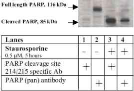 - cleaved PARP antibody (ab4830)