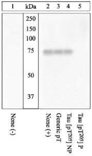 Western blot - Tau (phospho T205) antibody (ab4841)