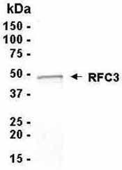 SDS-PAGE - RFC3 protein (ab40209)