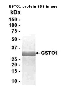 SDS-PAGE - glutathione S transferase Omega 1 protein (ab40259)