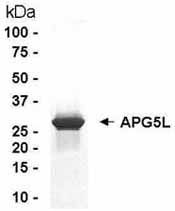 SDS-PAGE - APG5L/ATG5 protein (ab40469)
