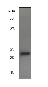 Western blot - Anti-Rho antibody [EP487Y] (ab40673)