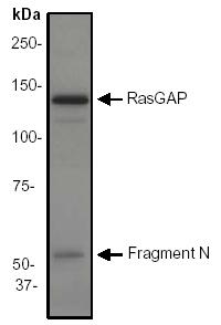Western blot - Anti-GAP [EP536Y] antibody (ab40677)
