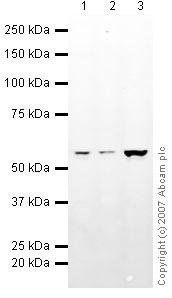 Western blot - DDX6 antibody (ab40684)