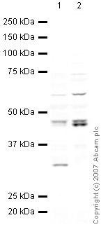Western blot - TIA1 antibody (ab40693)