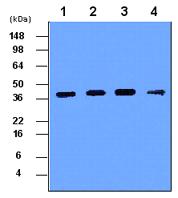 Western blot - Cathepsin D antibody [4G2] (ab40697)