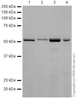 Western blot - alpha Tubulin antibody [DM1A] (HRP) (ab40742)