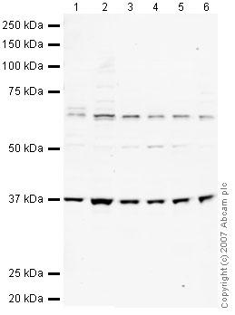 Western blot - EIF3S2 antibody (ab40745)