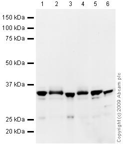 Western blot - Anti-VDAC1/Porin antibody - Mitochondrial Loading Control (HRP) (ab40747)