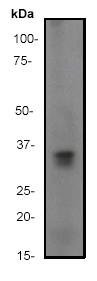 Western blot - Cyclin D1 antibody [ep272y] (ab40754)