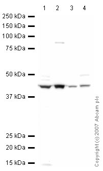 Western blot - ATP6IP2 antibody (ab40790)