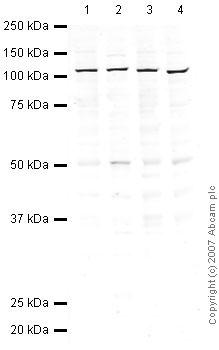 Western blot - eIF3B antibody (ab40799)