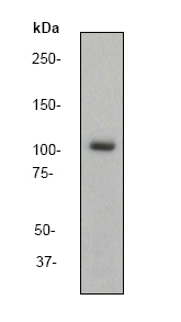 Western blot - ERK5 antibody [EP791Y] (ab40809)