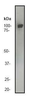 Western blot - EEF2 antibody (ab40812)