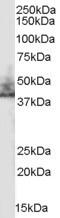 Western blot - SLC9A3R2 antibody (ab40825)