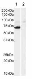 Western blot - Monoamine Oxidase A antibody (ab40835)