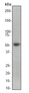 Western blot - Smad2 antibody [EP784Y] (ab40855)