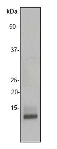 Western blot - Macrophage Inflammatory Protein 1 beta antibody [EP494Y] (ab40857)