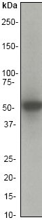 Western blot - GSK3 alpha antibody [EP793Y] (ab40870)