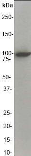 Western blot - Vav proteins antibody [EP482Y] (ab40875)
