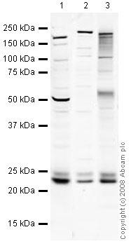 Western blot - RAB14 antibody (ab40938)