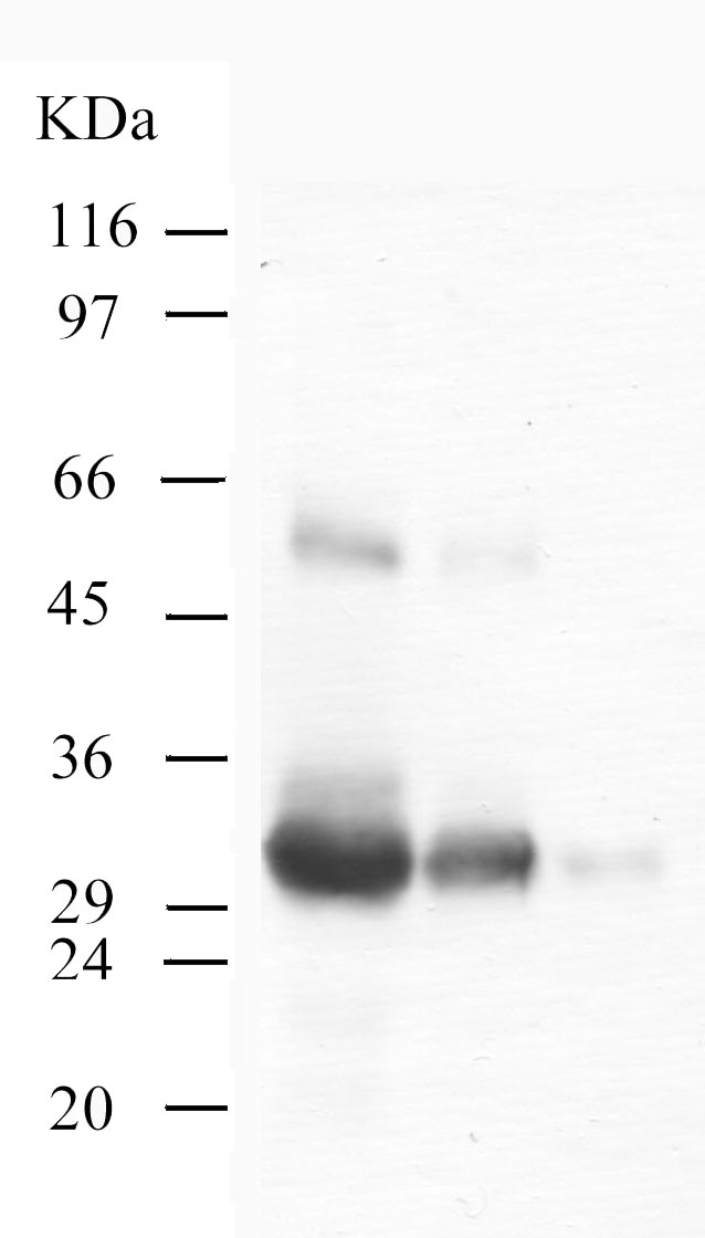 Western blot - Kallikrein 4 antibody - Catalytic domain (ab40950)