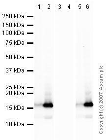 Western blot - Histone H2B (acetyl K16) antibody (ab40977)