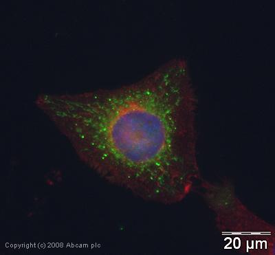 Immunocytochemistry/ Immunofluorescence - Glutathione Peroxidase 4 antibody (ab40993)