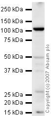 Western blot - PSMA antibody (ab41034)