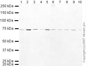 Western blot - ADAMTS5 antibody (ab41037)