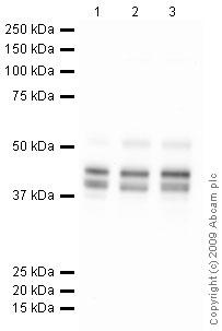 Western blot - PON2 antibody (ab41544)