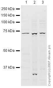 Western blot - BHC80 / PHF21A antibody (ab41631)